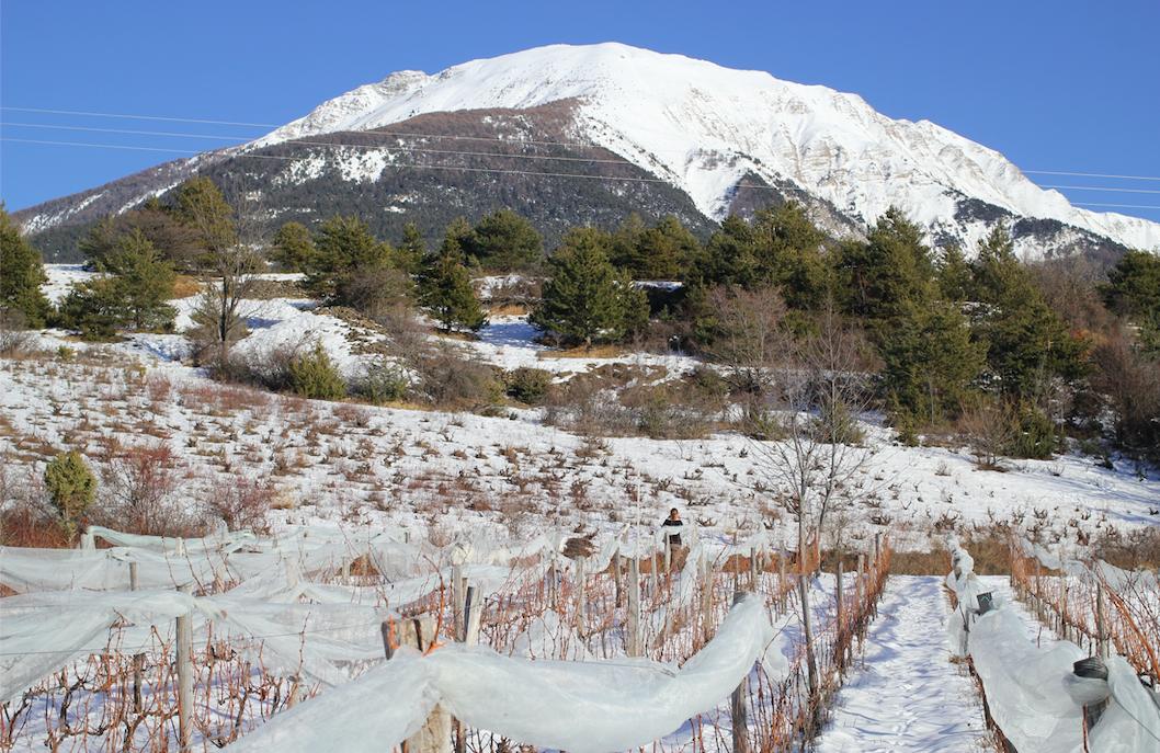 Les Raisins Suspendus sous la neige